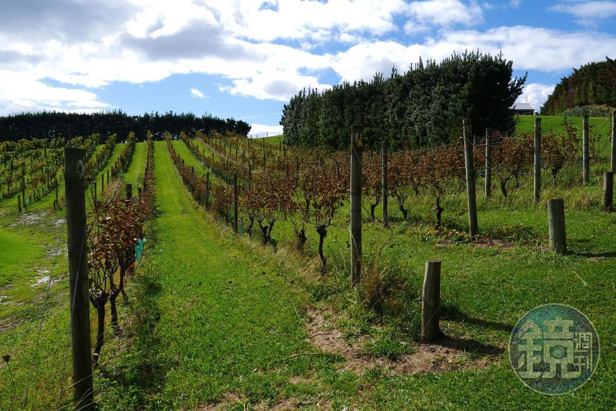 全島大約有30幾個酒莊,隨處可見葡萄園。