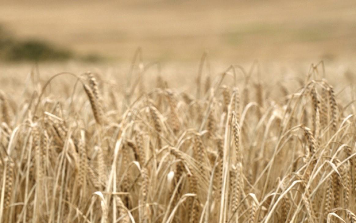 汀士頓和在地小農契作生產大麥。(汀士頓提供)