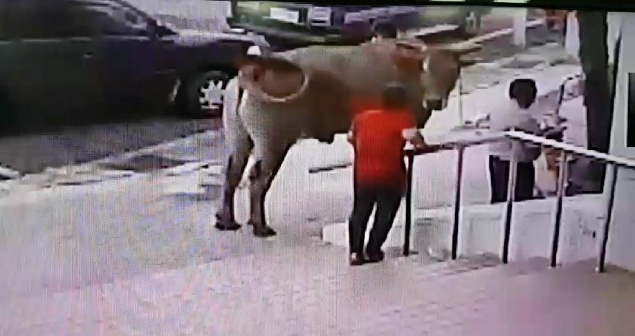 飼主丟了大黃牛相當焦急 趕緊跑到派出所認領回來。(警方提供)