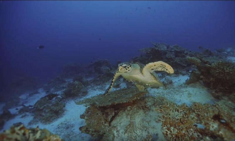 一隻海龜從白化的珊瑚礁石中游出。(翻攝袁緒虎粉絲專頁)。