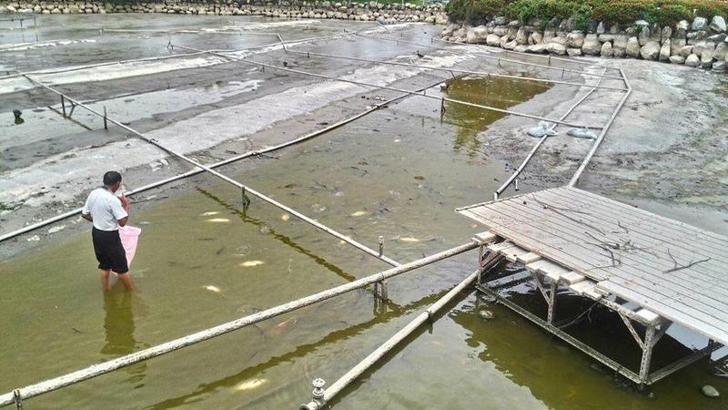 樂豐公園水池內的許多魚翻肚死亡。(翻攝畫面)