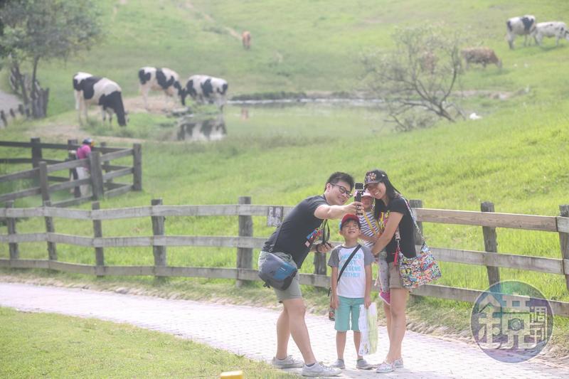 轉型觀光的飛牛牧場綠草如茵、牛隻悠閒覓食,吸引不少親子旅客造訪。