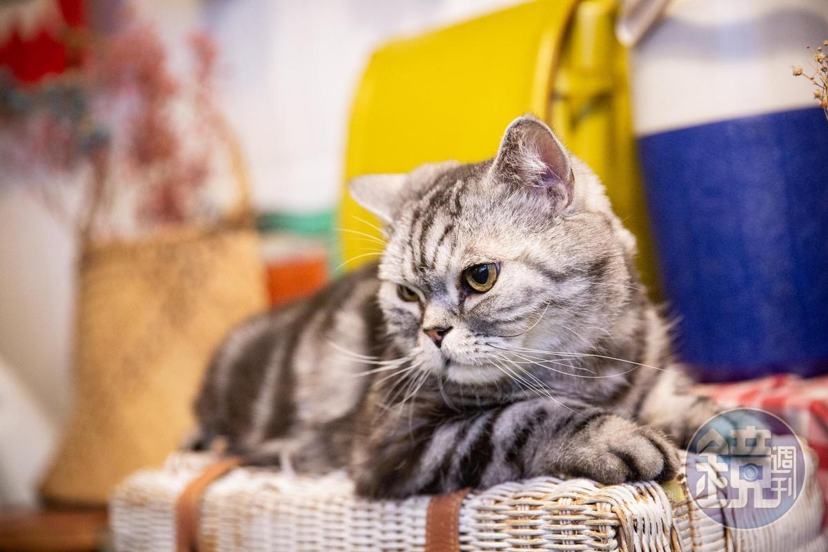 已經11歲的店貓Money,親人可愛。