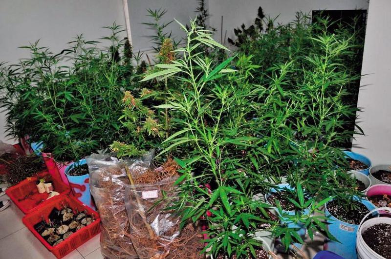 大麻是法定2級毒品,成癮和危害性與安非他命是同等級。