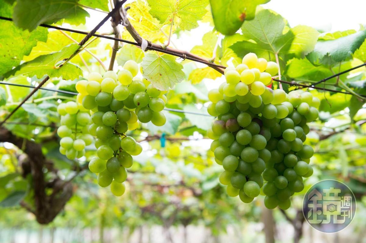 快可以採收的金香葡萄。