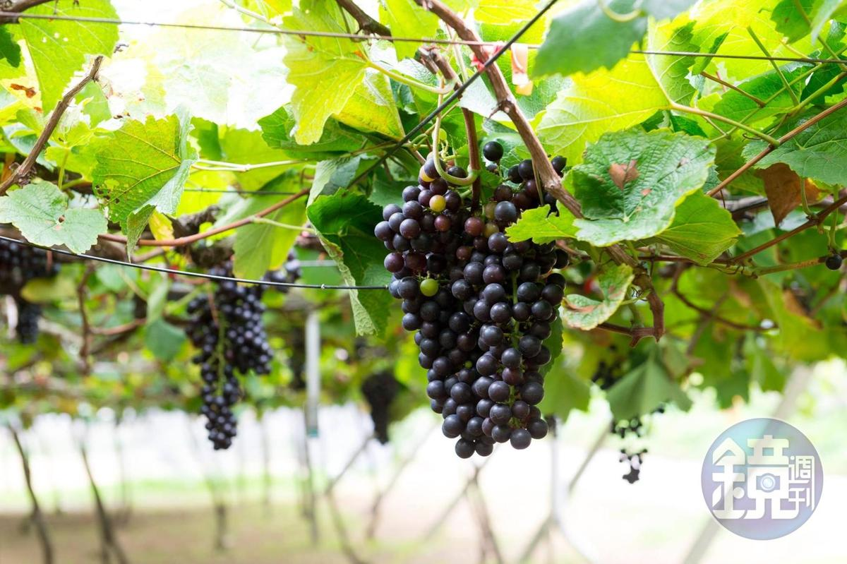 轉色中的黑后葡萄。