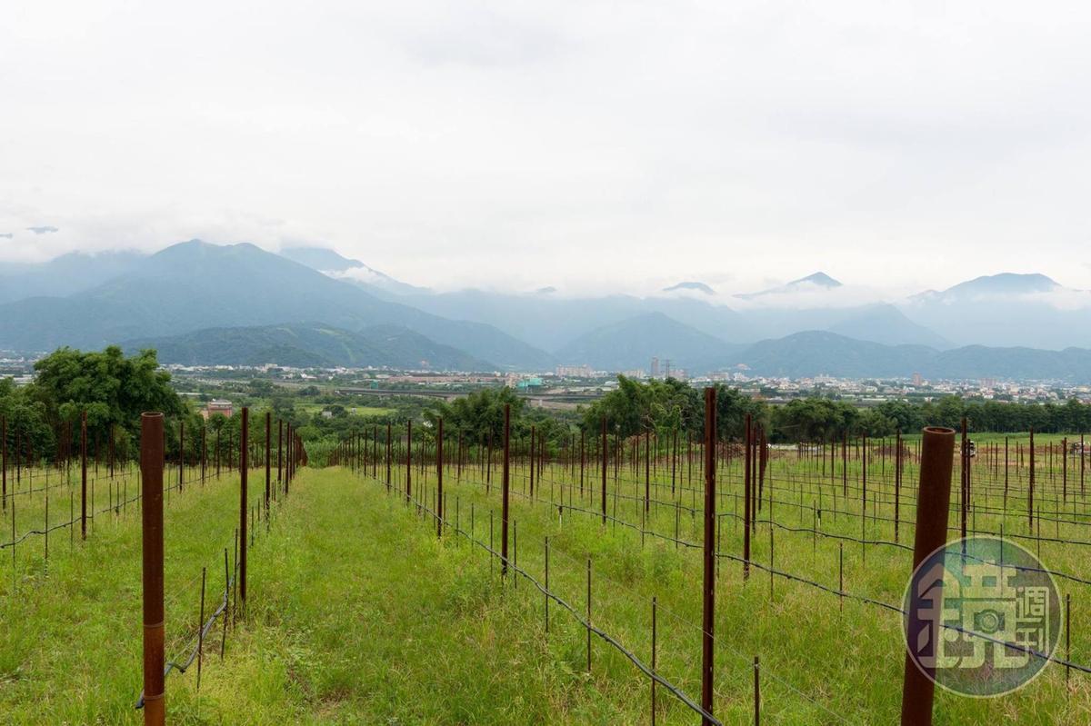 威石東在南投埔里的實驗葡萄園。