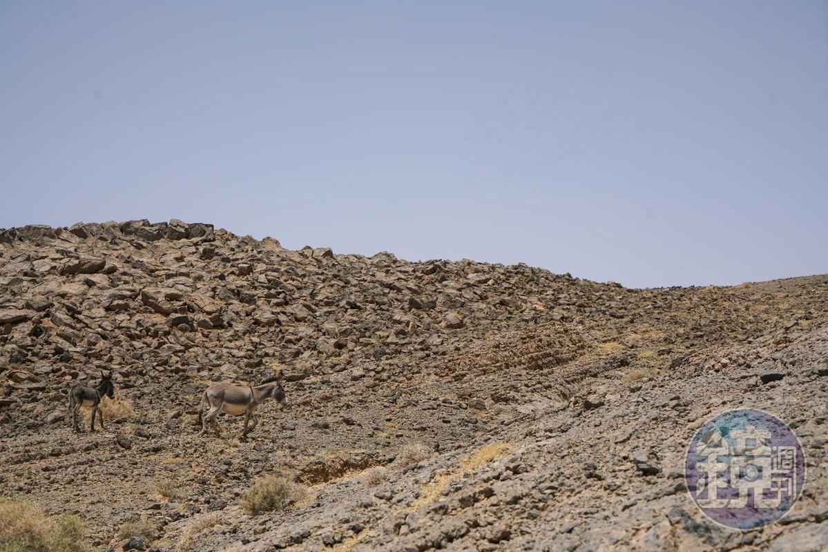 沙漠上出現2隻驢子。