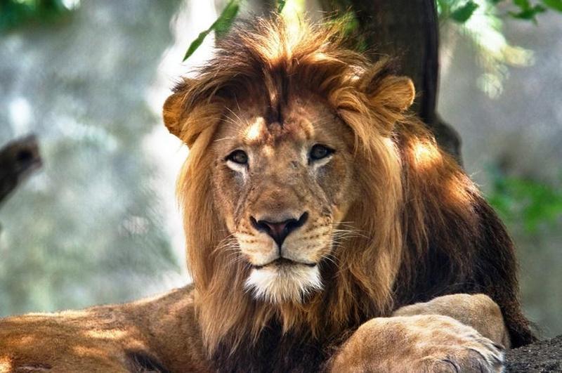 10歲的公獅納亞克,被12歲的母獅祖莉活活咬死,令網友人分不捨。(翻攝自Indianapolis Zoo臉書)