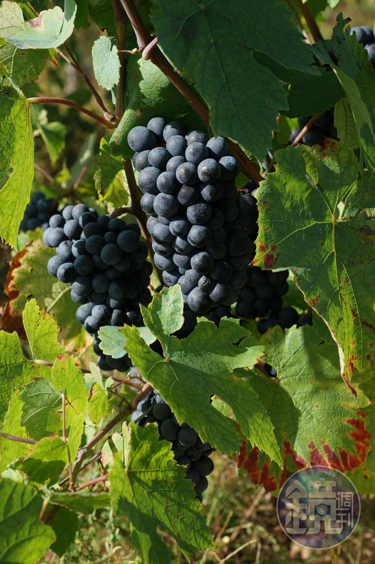 Gamay葡萄向來被視為是平庸較無價值的釀酒品種,但在自然酒尊重各式品種風味的風潮裡賤名翻身,混調時展現了特有風味。(林裕森提供)