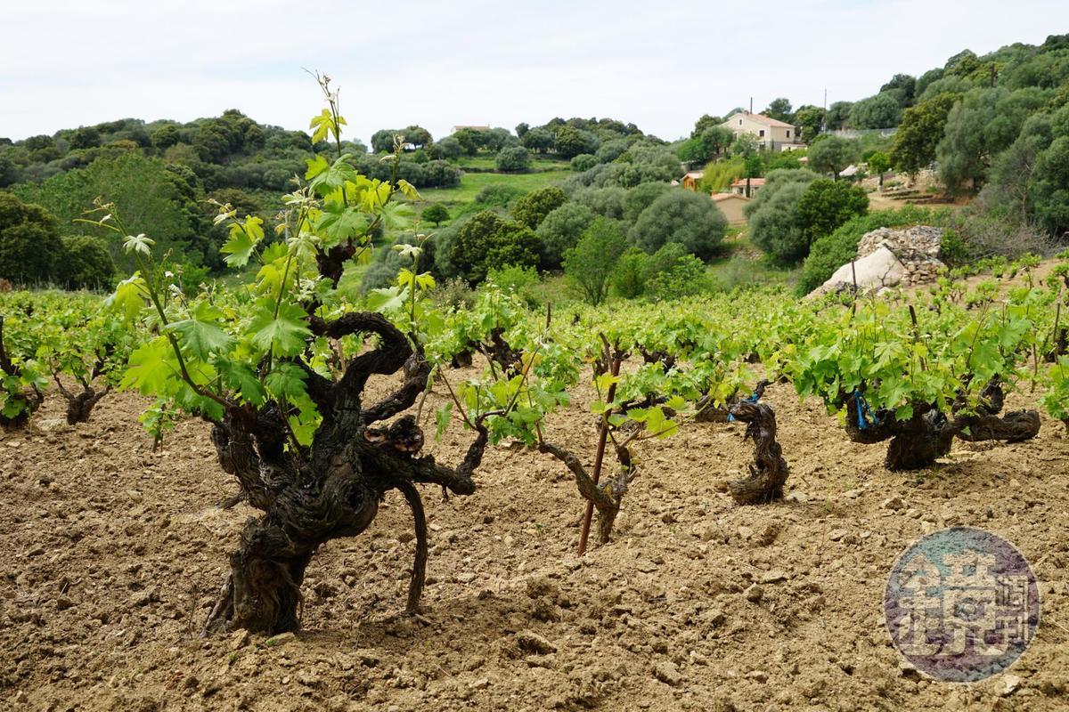 老葡萄樹園看似野放隨興,但混種古園其實常能混釀出迷人葡萄酒。(林裕森提供)