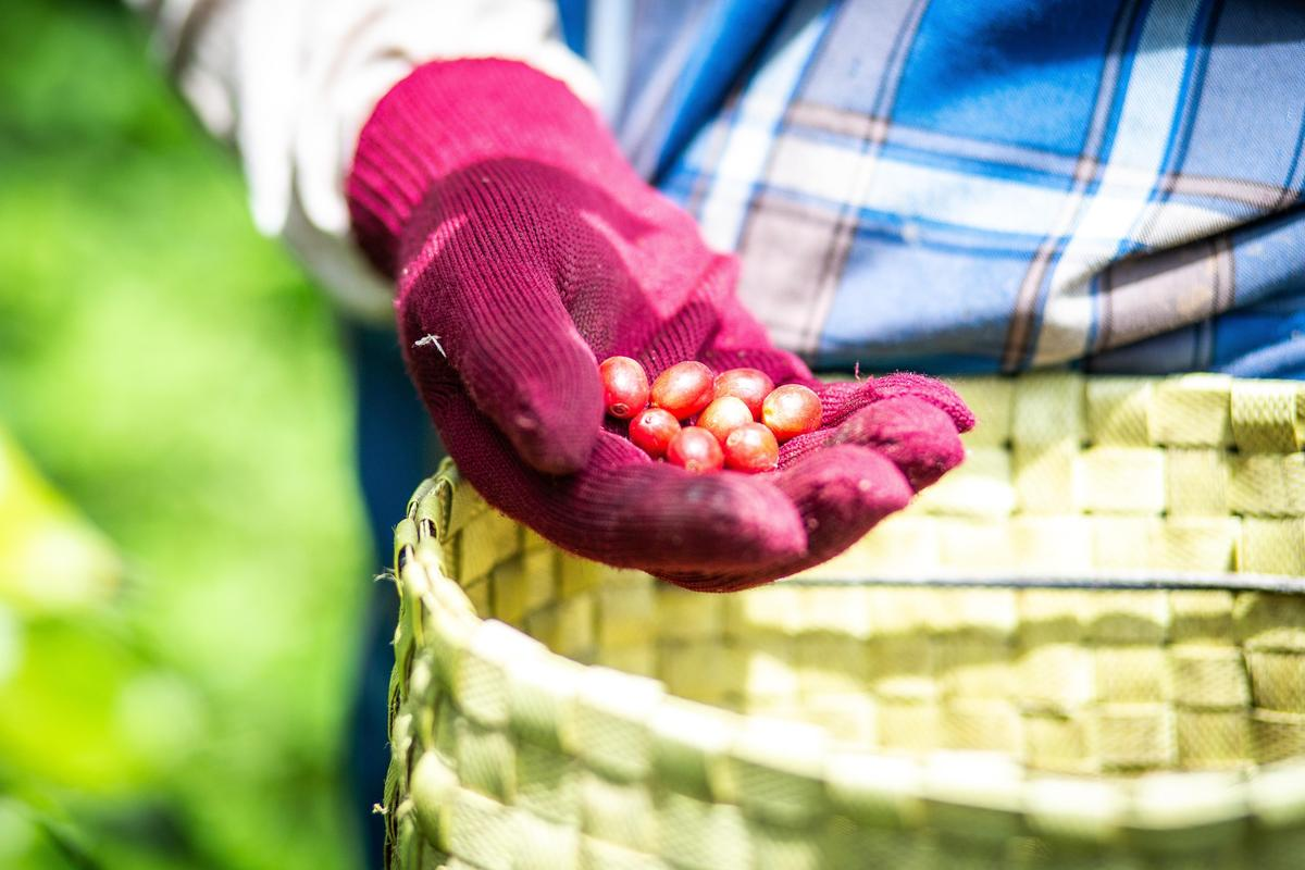 黃朝亮說,太麻里咖啡豆講究手作,每一顆都是心血。(TAIMALI太麻里文創咖啡館提供)