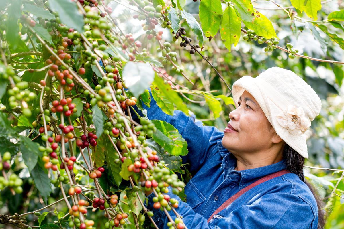 魯凱族公主羅英惠嫁到太麻里,用心栽種有機咖啡。(TAIMALI太麻里文創咖啡館提供)