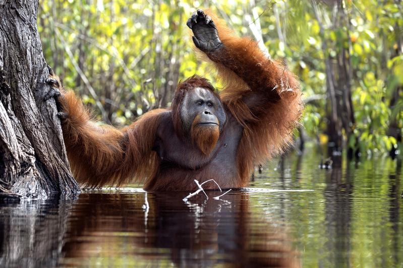 婆羅州的紅毛猩猩近年來因棲地受到大舉破壞,導致物種瀕臨滅絕。(東方IC)