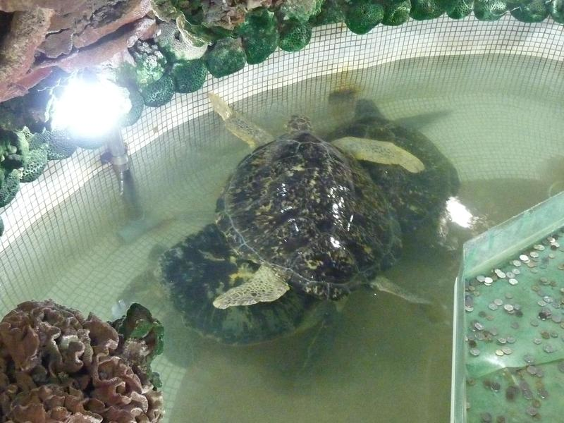 大義宮的海龜平均每3年就有1隻烏龜死亡,動保團體則怒批廟方虐待海龜。(翻攝畫面)