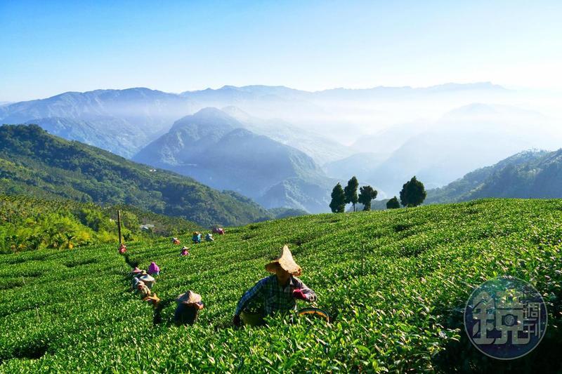 在茶園就能擁抱壯闊的中央山脈,左邊是雪霸,右邊是玉山,原來擁抱大山,是如此自在。
