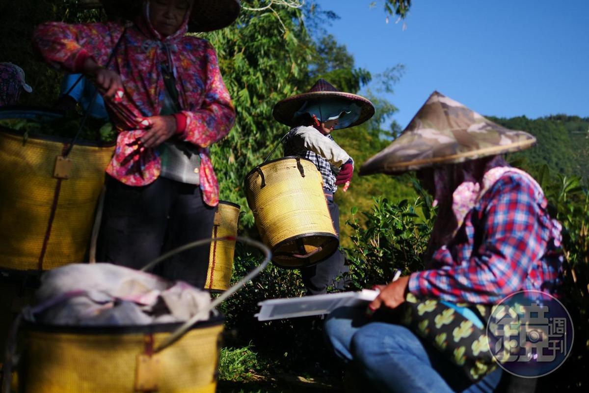 每日採茶的工錢是秤斤計兩來算。