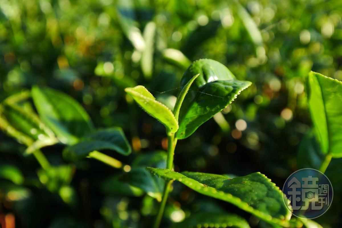現在採收的冬茶是金萱。