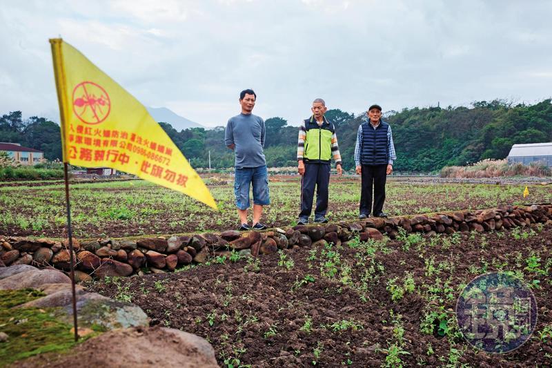 紅火蟻入侵淡水屯山里,田裡插著黃旗示警,依然有近百位居民被攻擊。