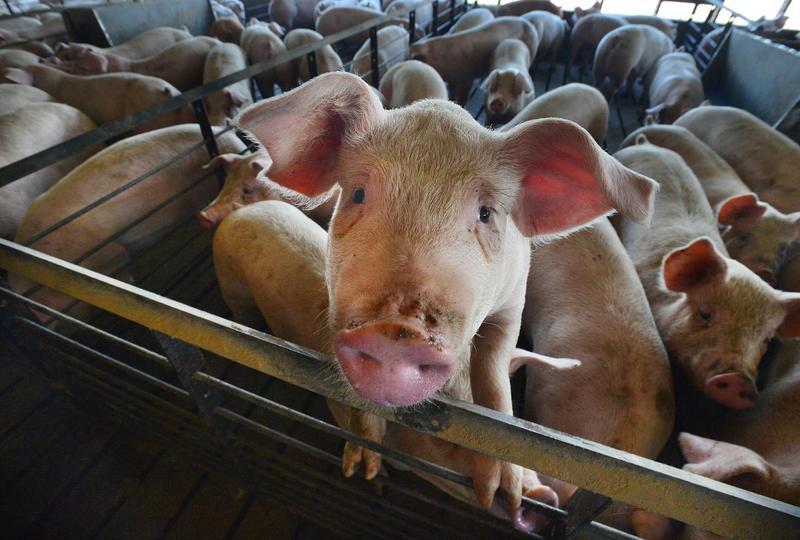 豬肉出口大國巴西、西班牙早在1978、1960年也曾淪陷。(東方IC)
