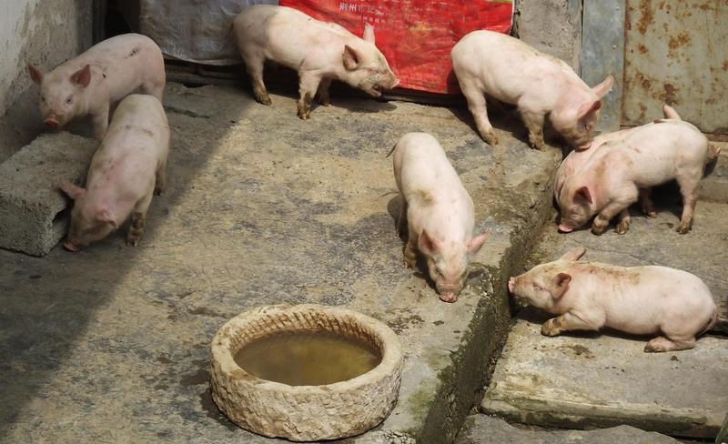 若旅客攜帶自非洲豬瘟發生國近3年的肉品回台,將面對初次違法即付出20萬元的代價。(東方IC)