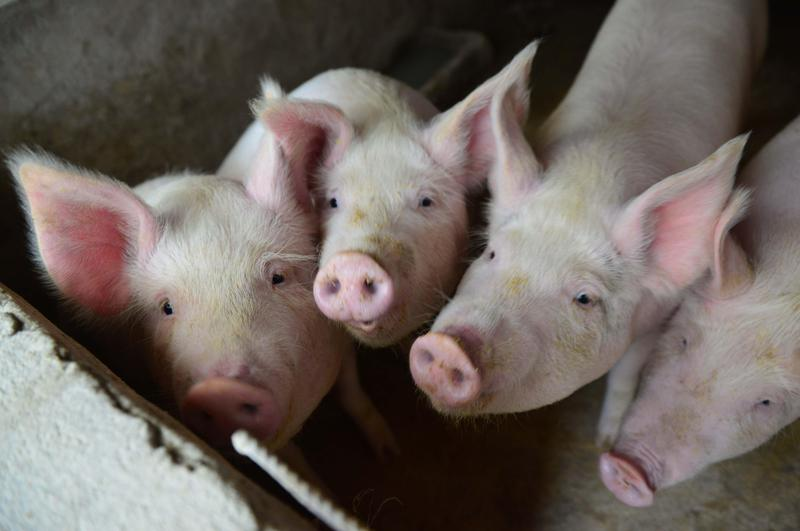 非洲豬瘟疫情加重,陸委會已3度行文海協會,要求加強電商管理、通報豬瘟疫情現況,但都遭已讀不回。(東方IC)