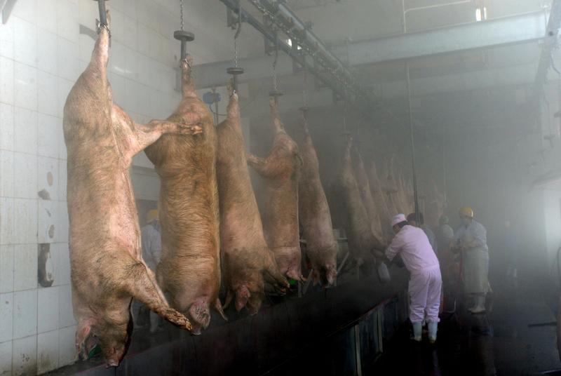 廣東省珠海市香洲區一處屠宰場發現豬瘟,圖為瀋陽屠宰場。(東方IC)