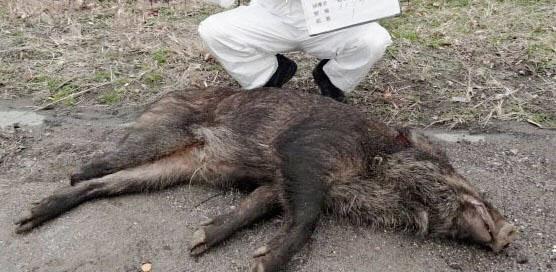 愛知縣發現病死豬,是日本境內第6例,也是首次發生在歧阜縣外的案例。(翻攝自日本経済新聞)