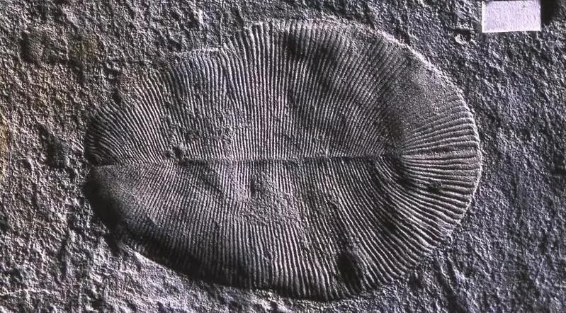 圖/5億年前的動物(來源:D. Grazhdankin)
