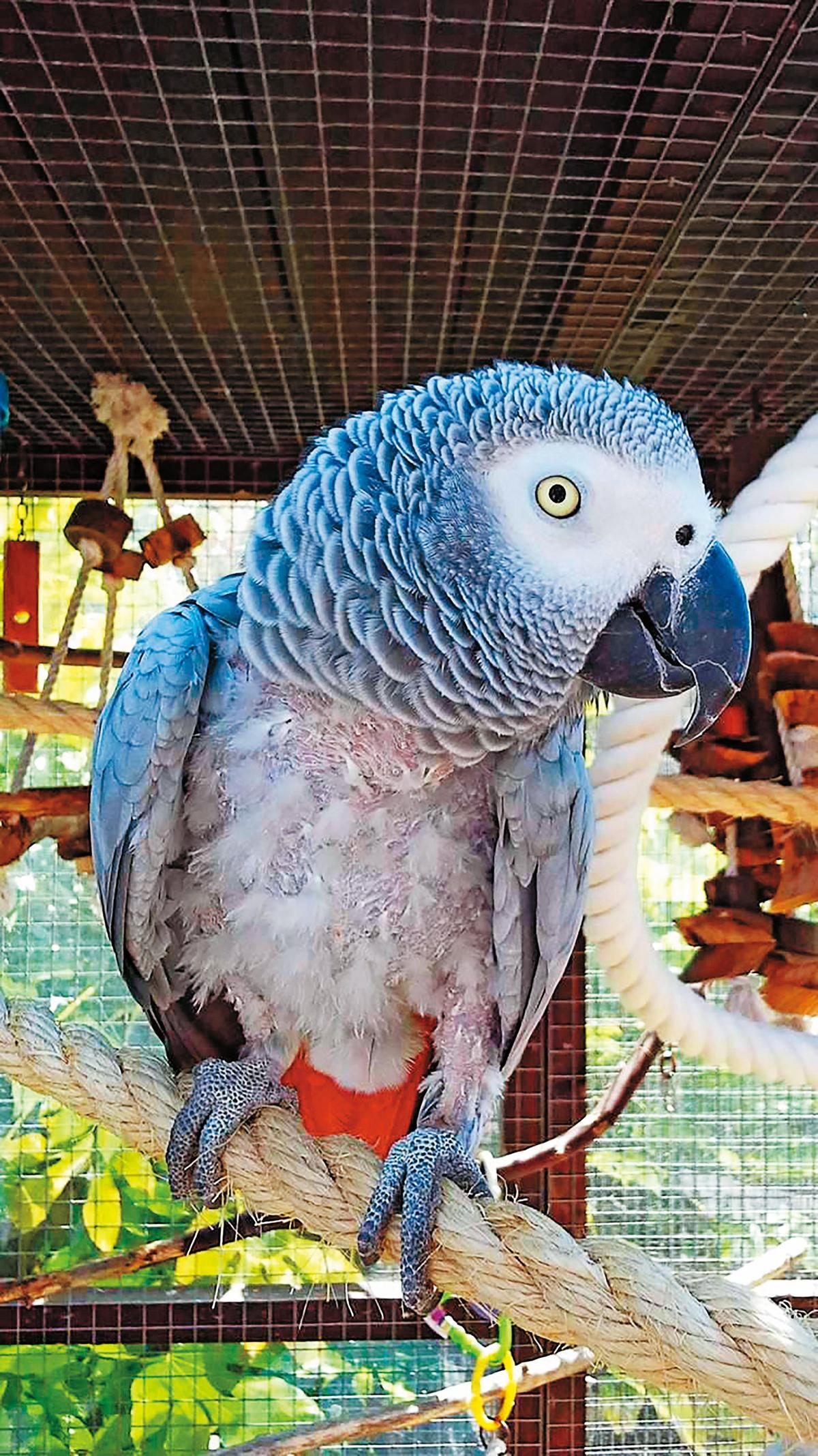 去年8月,榮儲發行報關行人員走私2箱從非洲伊波拉病毒疫區進口的灰鸚鵡,海關僅開罰1.2萬元。(東方IC)