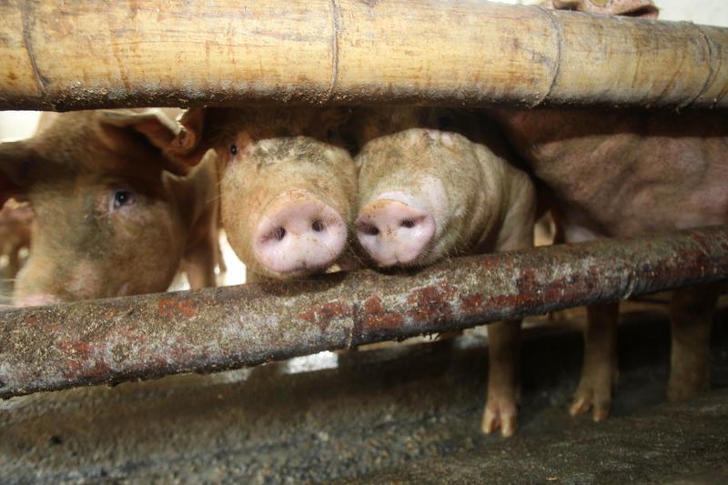 天津海關於豬飼料當中檢出非洲豬瘟病毒。(東方IC)