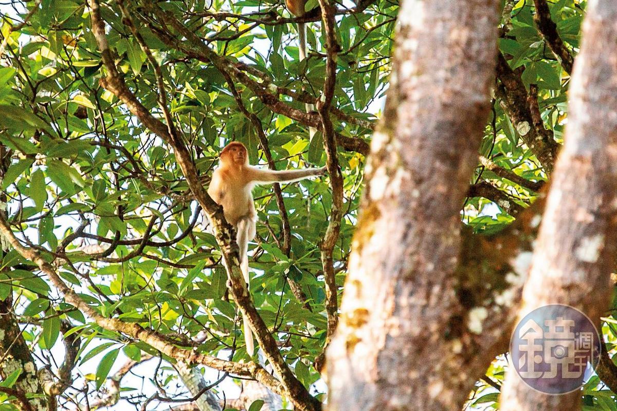 在紅樹林能夠輕易發現長鼻猴,卻很難捕捉到全貌。