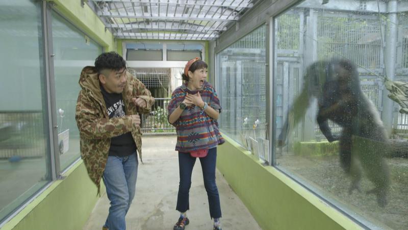 Gigi(右)與史丹利在錄影時突然遭銀背大猩猩攻擊,嚇得2人尖叫連連。(艾迪昇傳播提供)