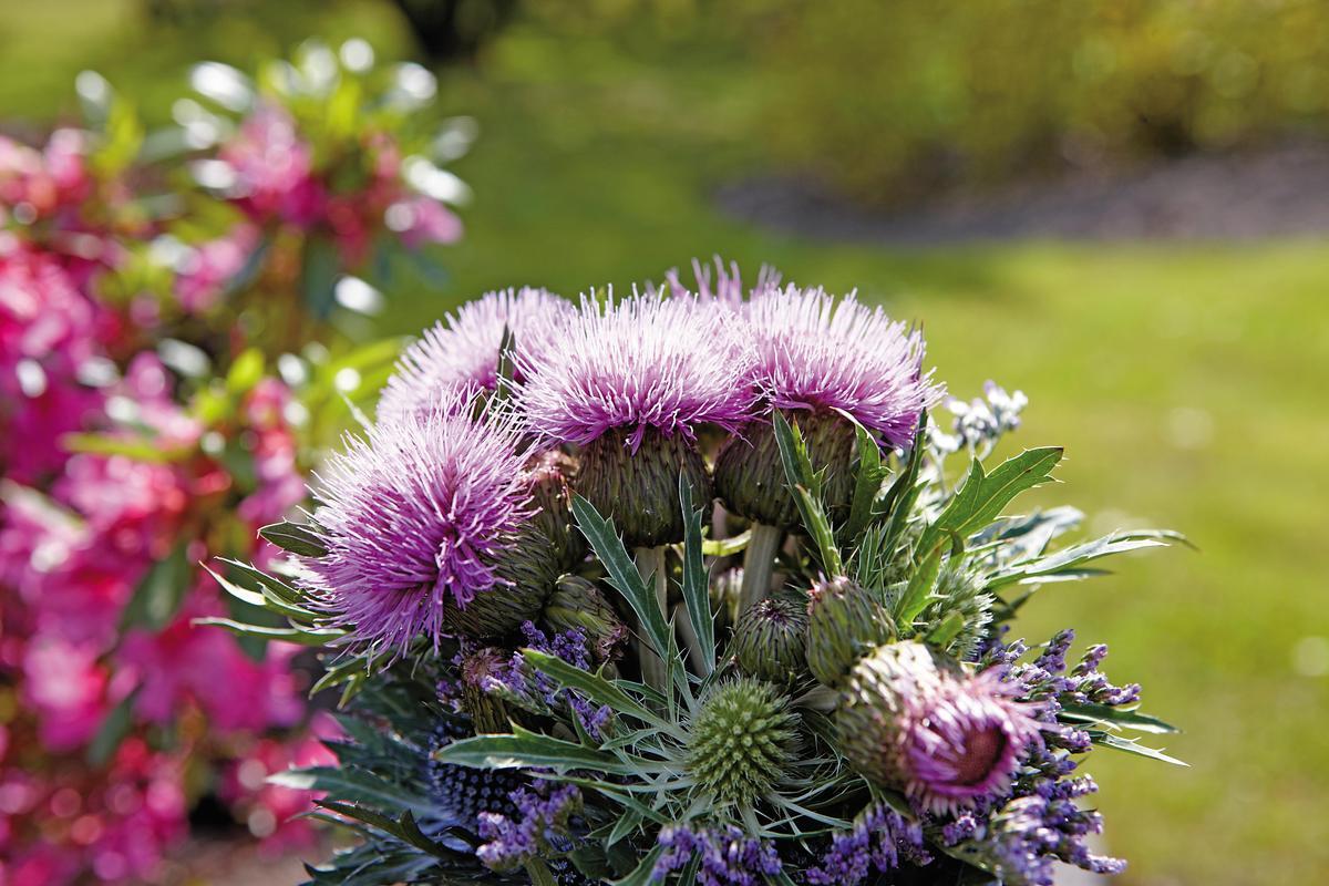蘇格蘭國花紫薊花,蘇格蘭野外隨處可見。