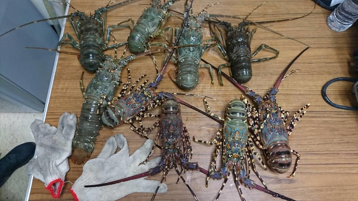 9隻龍蝦市價超過上萬元。(警方提供)