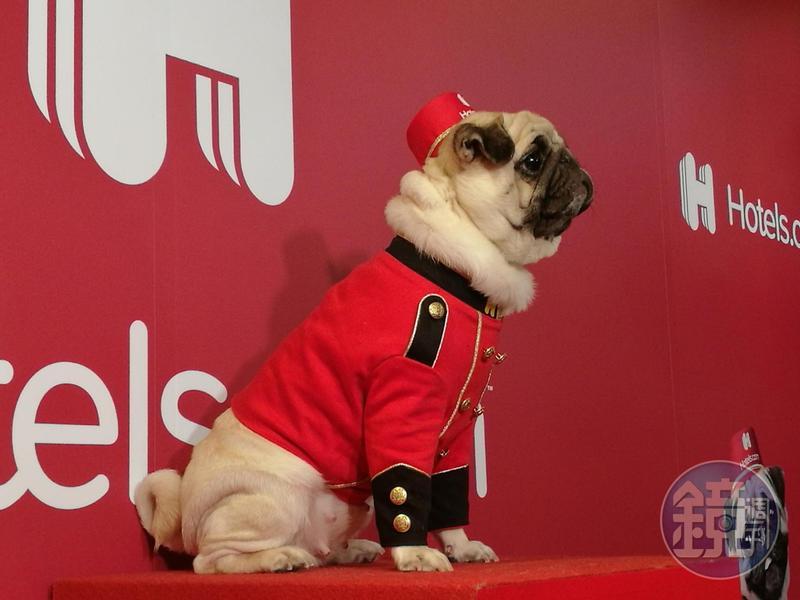 台灣巴哥犬Nini,自2017年便開始擔任訂房網站禮賓大使Bellpug。