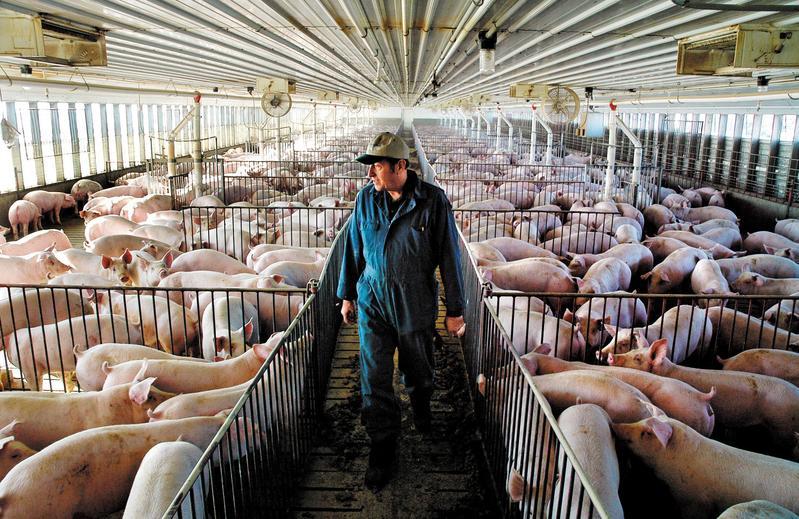 台灣想與美國談判雙邊貿易協定,就得開放市場,放美國豬肉進來。(東方IC)