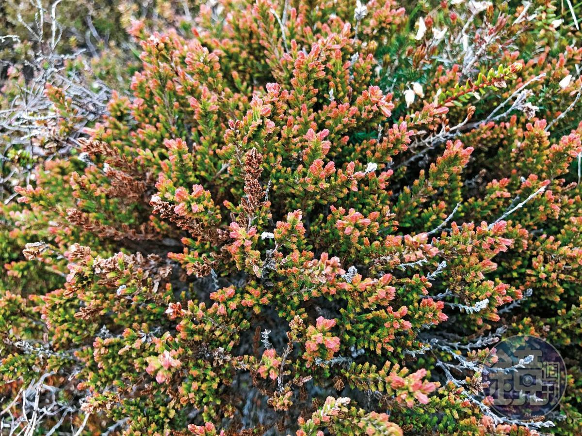 蘇格蘭到處可見的石楠花,品種眾多,泥煤主要就是這種植物腐敗成為土壤而得。