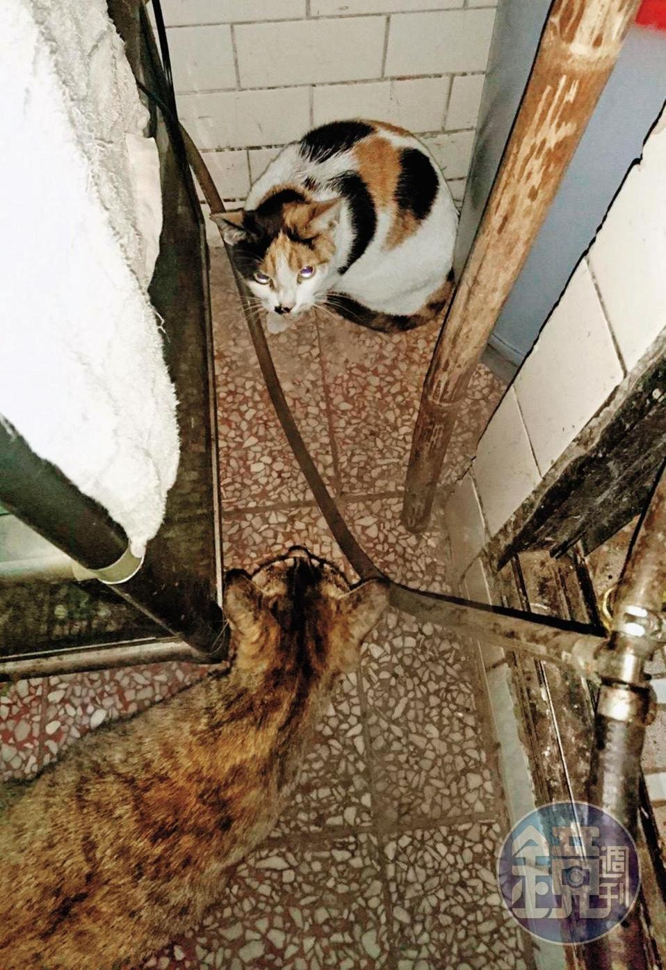 李先生將三花貓送到朱女家中,確認牠沒有與朱女的虎斑貓發生衝突才離開,這卻是他與貓咪的最後一面。(讀者提供)