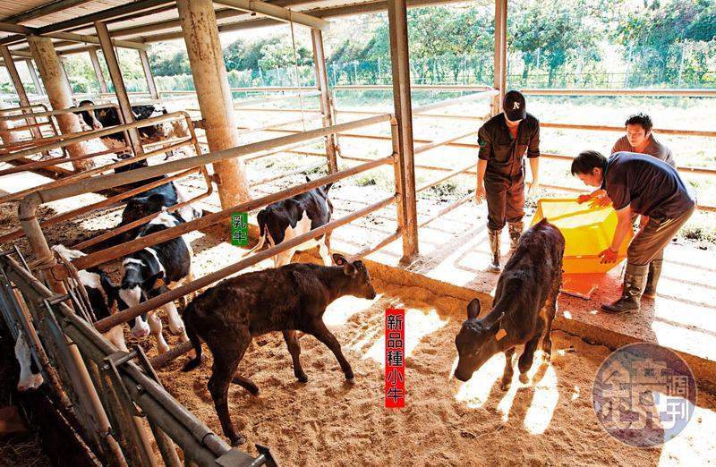 本刊前往兆豐農場直擊僅40多天大的新品種小牛,當時小牛的體型已與隔壁4個月大的乳牛差不多。