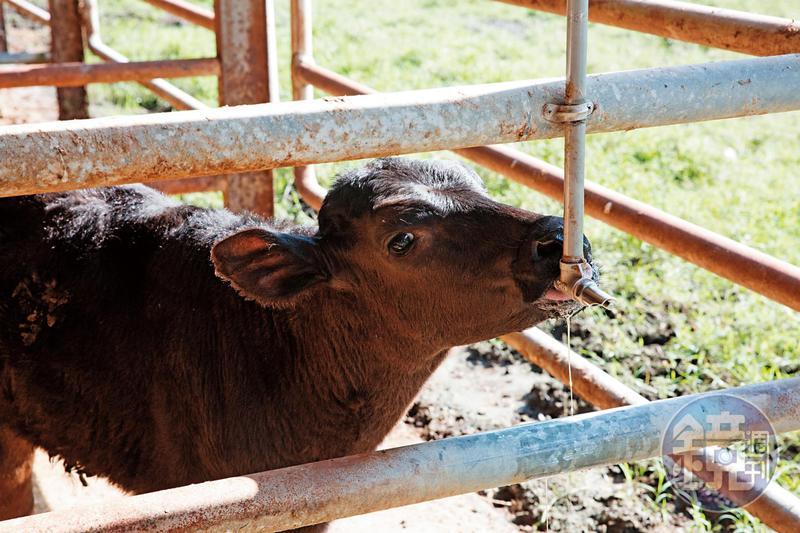 由源興牛與荷蘭乳牛雜交產下的2頭新品種小牛,去年11月底出生。