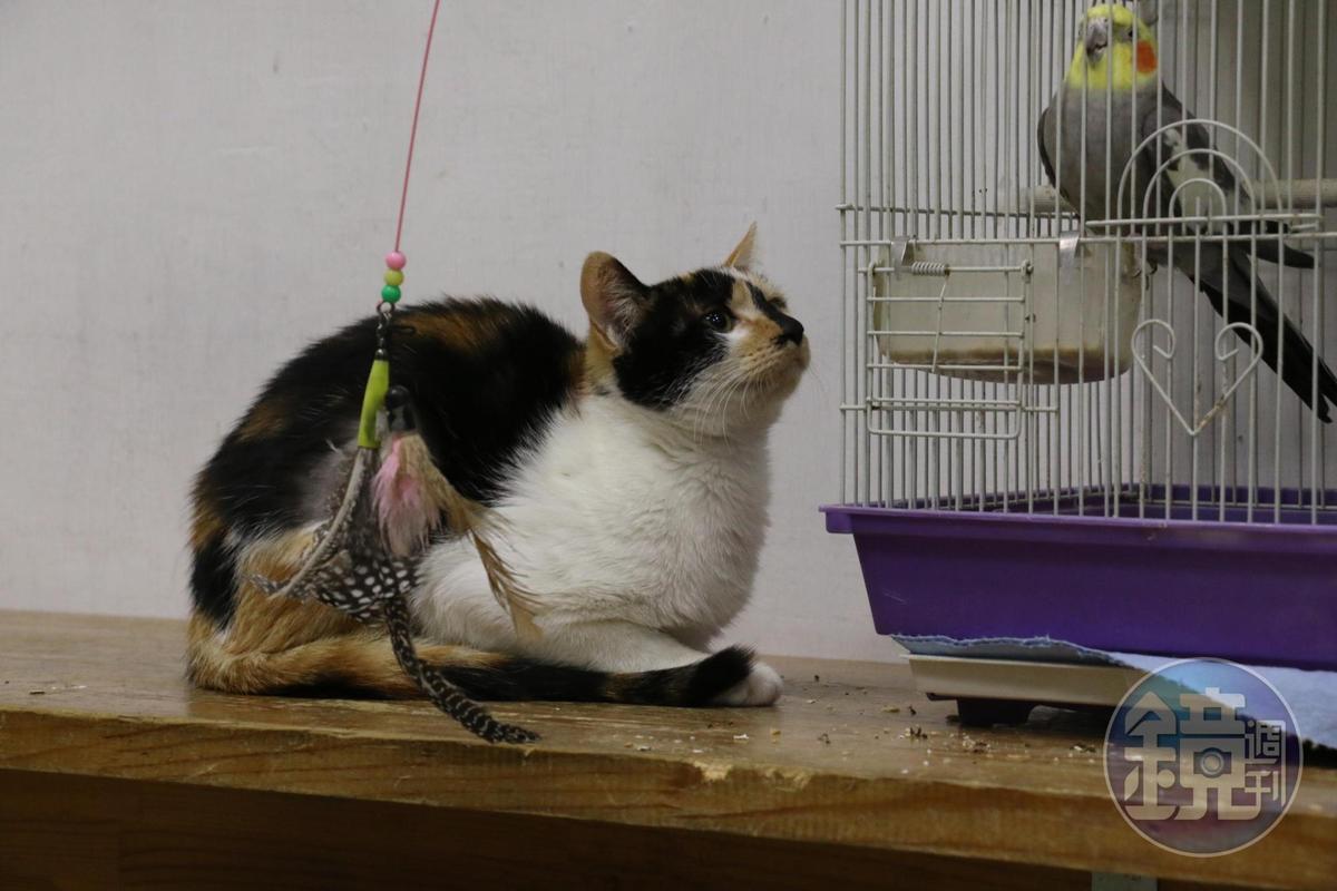 差點落入朱女手中的三花貓現已找到新家,開啟新的貓生。(讀者提供)