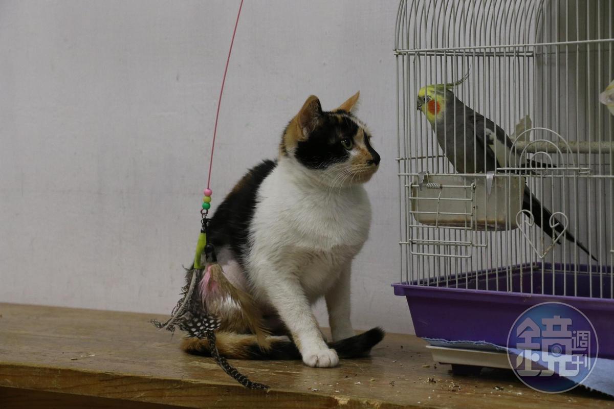 春天動物醫院的三花貓長相可愛、個性親人,也因而被朱女盯上。(讀者提供)