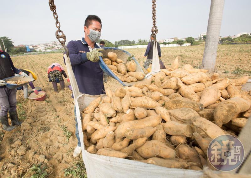 不只檸檬,高雄市政府還與農民簽訂600公頃地瓜契作,統整南台灣其他縣市產量。