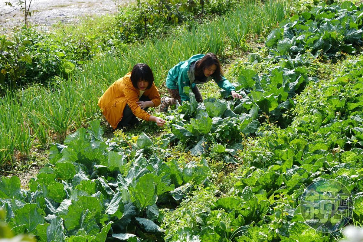 農園種植有機蔬菜,也可提供遊客體驗摘採。