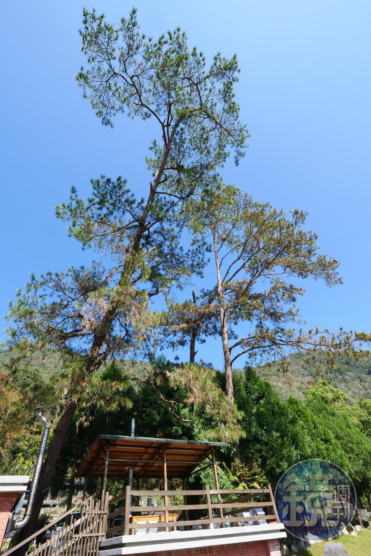 霸氣黑松老樹。