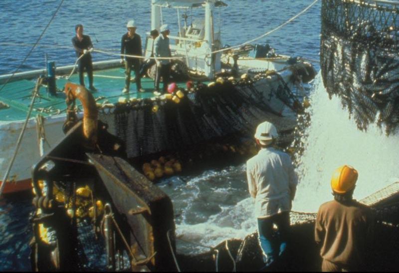 我國遠洋籍漁船穩鵬號於模里西斯海域發生海上喋血事件,船上菲籍船員持刀殺害漁工,目前外交部已請相關單位協助搜救。本圖為遠洋圍網作業示意圖。(圖取自農委會)
