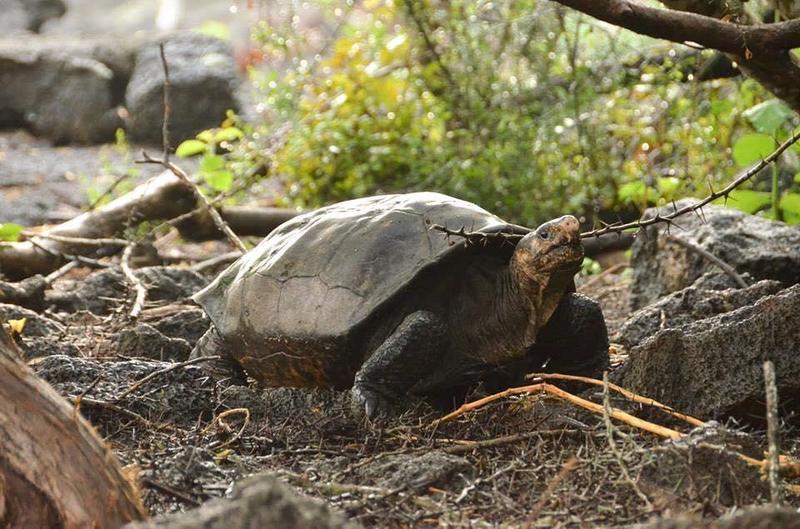 厄瓜多原生種費爾南迪納巨龜17日在小島上被發現,考察人員又驚又喜,因為牠已消失了112年。(圖取自Galapagos Conservancy臉書)