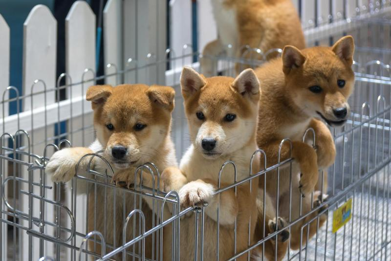 據統計,日本遺棄寵物者56%是60歲以上人士,原因多為突然死亡、罹患重症或失智,及住進養老院無法繼續飼養。(東方IC)