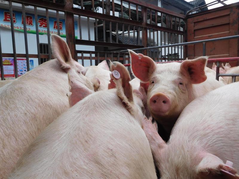 非洲豬瘟疫情蔓延,也為中國推動智能農場帶來契機。(東方IC)